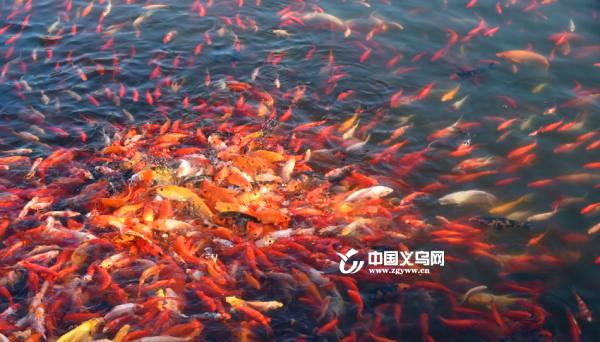 """义乌版""""花港观鱼""""  里忠村打响乡村旅游品牌"""