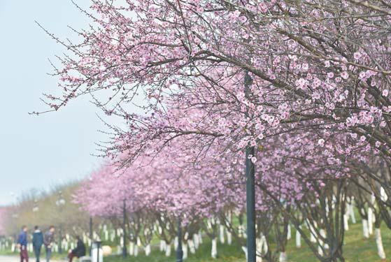 阳春三月 商城无处不飞花