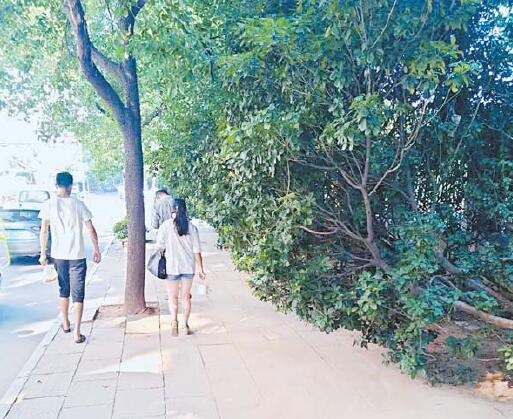 """人行道上植物""""封路"""" 江滨西路松门山段:人行道上难行人"""