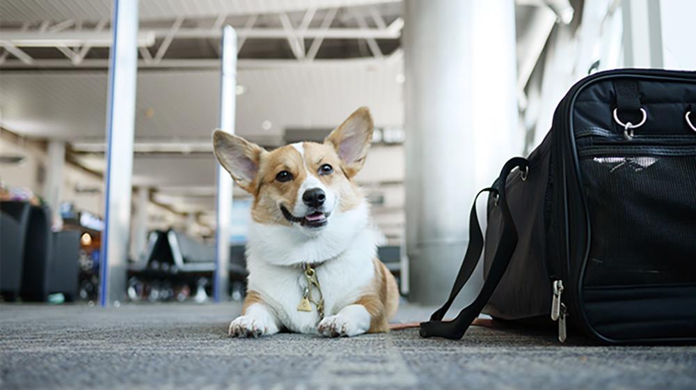 国内乘飞机可带小宠物进客舱啦 9个机场推出该项服务