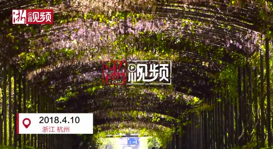 浪漫!杭州城里的紫藤瀑布 再不看就要等明年