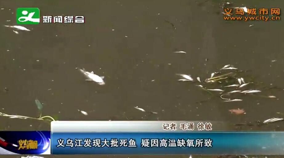 义乌江发现大批死鱼 疑因高温缺氧所致