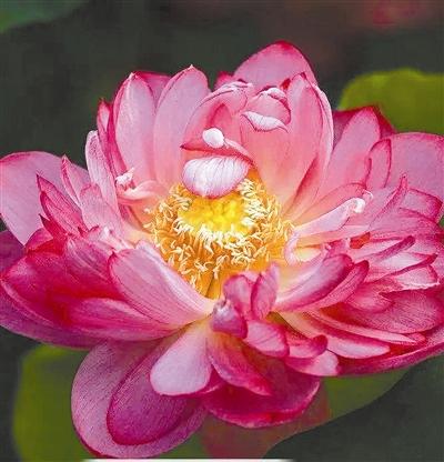"""西湖荷花新品种――""""花中之花"""""""