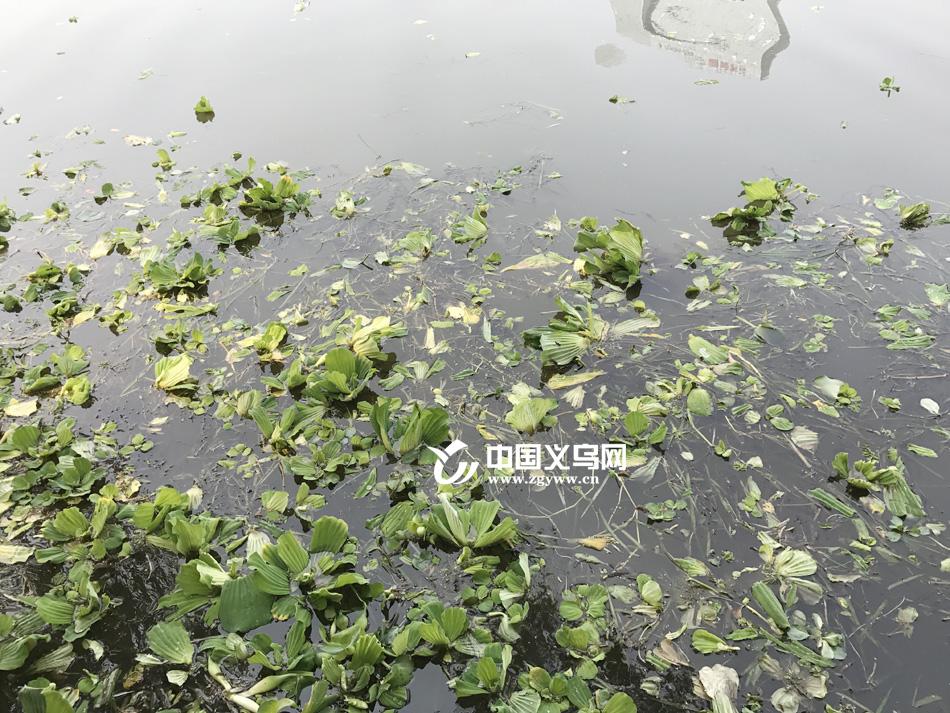 义乌江上现大面积水葫芦 水务局:21日前清理干净