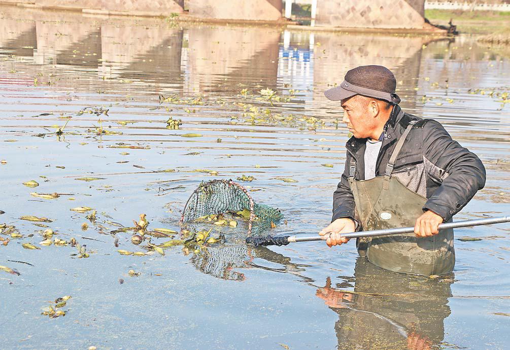 义乌:打捞水葫芦 力求江水清