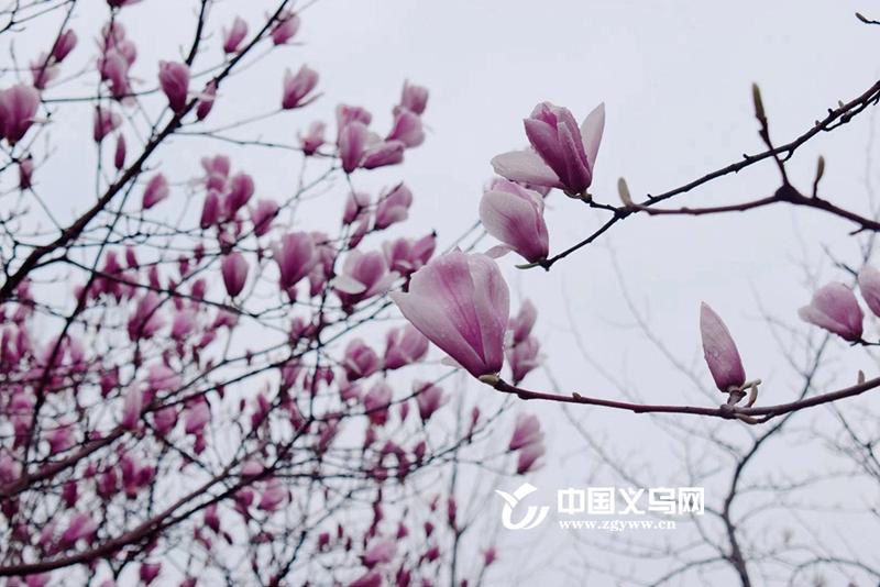 """春日赏花哪里去? 义乌最美""""玉兰大道""""等你来"""