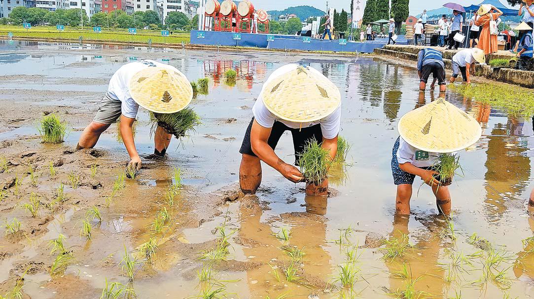 义乌:农旅融合 欢乐插秧