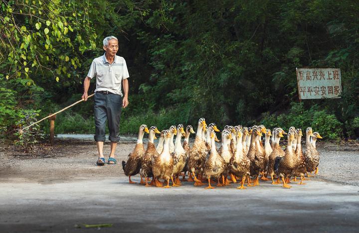 吴之怀:枣园·鸭趣