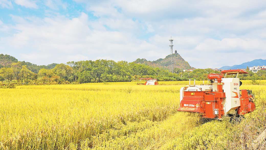 义乌:金秋十月丰收季 遍地稻谷似黄金