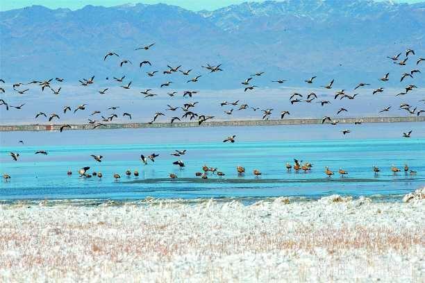 巴里坤湿地生态良好 吸引大批候鸟