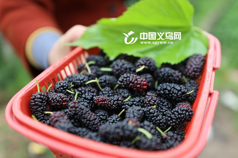 """桑葚节、桑葚酒、桑葚馒头……义乌这个村做大""""乡愁""""产业"""