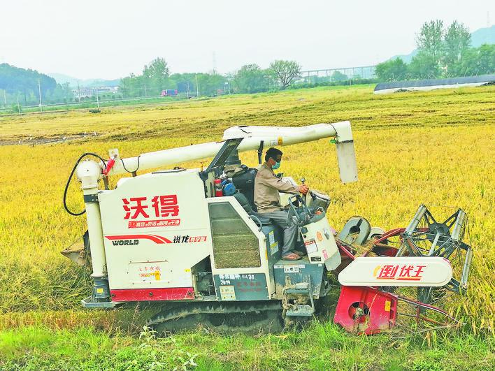 义乌赤岸早稻迎来丰收季