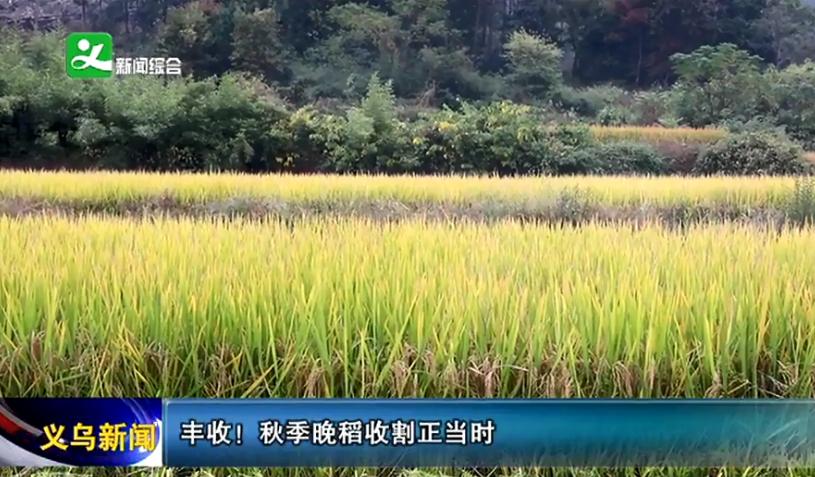 丰收!秋季晚稻收割正当时