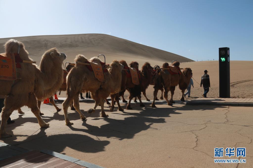骆驼红绿灯亮相敦煌鸣沙山月牙泉景区