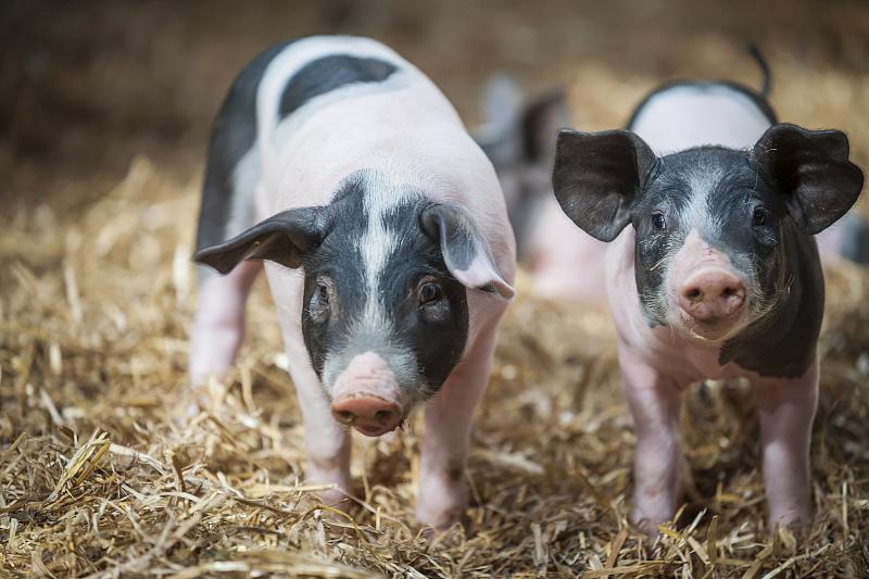 """上市猪企发布5月销售""""成绩单"""" 机构称猪价拐点渐近"""