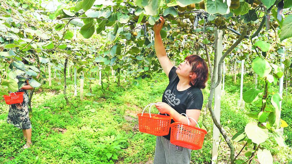 义乌:猕猴桃采摘迎客来