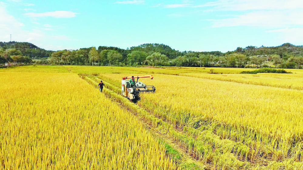 义乌单季晚稻迎来收割季 连作晚稻预计十一月开割
